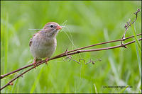 Field Sparrow with nest material