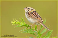 Henslow's sparrow perched on greens