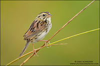 Henslow's Sparrow on field grasses