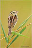 Henslow's Sparrow look back