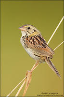 Henslow's sparrow on thin grasses