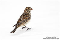 Lapland Longspur in non-breeding plumage, perched on snow