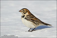 Lapland Longspur in the sun on a snow-covered field.