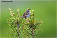 Savannah Sparrow on pine