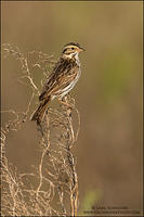 Savannah Sparrow on salt marsh weed