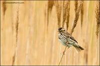 Savannah Sparrow singing from weedy field