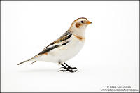 Snow Bunting in basic plumage, perched on snow