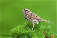 Song Sparrow male