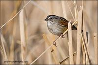 Swamp Sparrow singing from swampy area