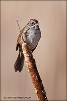 Swamp Sparrow on cattail