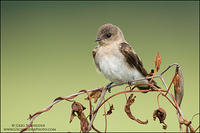 Northern Rough-winged Swallow on dried perch