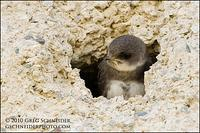 Bank Swallow fledgling