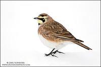 Horned Lark sitting on snowbank