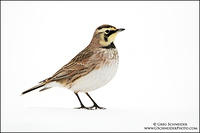 Horned Lark perched on snow