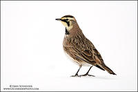 Horned Lark profile