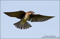 Purple Martin (female) flying with dragonfly