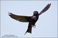 Purple Martin male hovering