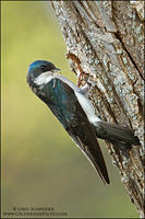 Tree Swallow bringing material to nest cavity