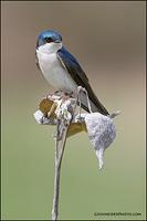 Tree Swallow on milkweed