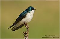 Tree Swallow calling