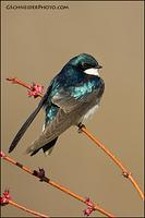 Tree Swallow perched on maple buds
