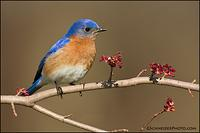 Eastern Bluebird male on maple