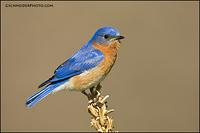 Eastern Bluebird male (9651)