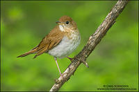 Veery on weathered branch