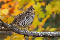 Male Ruffed Grouse perched on tree branch against fall colours
