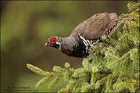 Spruce Grouse perched in spruce