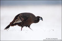 Wild Turkey hen foraging in blowing snow