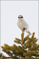 Northern Shrike perched on conifer