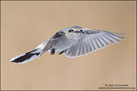 Northern Shrike in flight