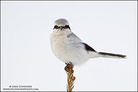 Northern Shrike stare