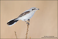 Northern Shrike (juvenile) perched on weeds
