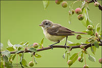 Bell's Vireo on Crab Apple Tree