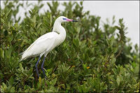 Reddish Egret (white morph) on Mangroves