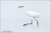 White-morph Reddish Egret stride