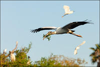 Wood Stork flying in Florida rookery