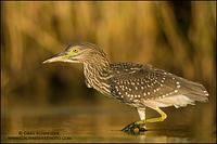 Black-crowned Night Heron (juvenile) hunting
