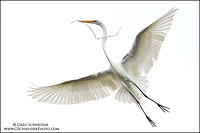 Great Egret flaring wings for landing
