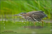 Green Heron stalking prey