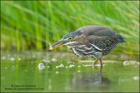 Green Heron with minnow prey