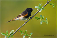 American Redstart on flowering perch