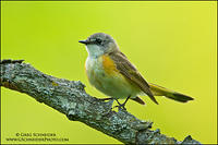 American Redstart (first year male)