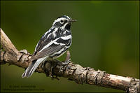 Black-and-white Warbler male looking back