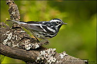 Black-and-white Warbler in forest habitat