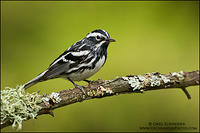 Black-and-white Warbler male on lichen covered branch
