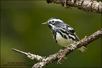 Black-and-white Warbler perched between branches