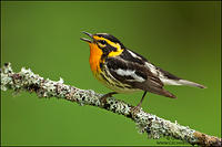 Blackburnian Warbler singing